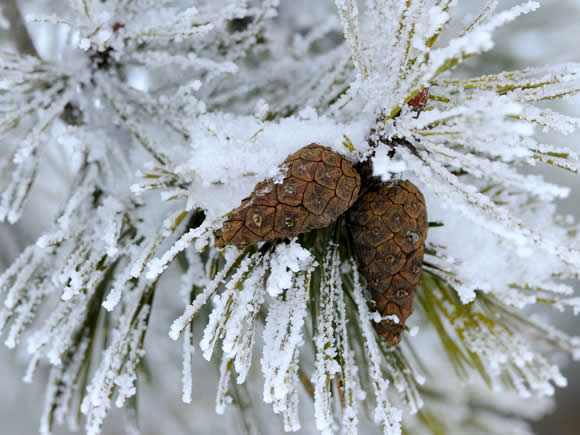 scots-pine-cones-winter-alamy-h49587-580x435